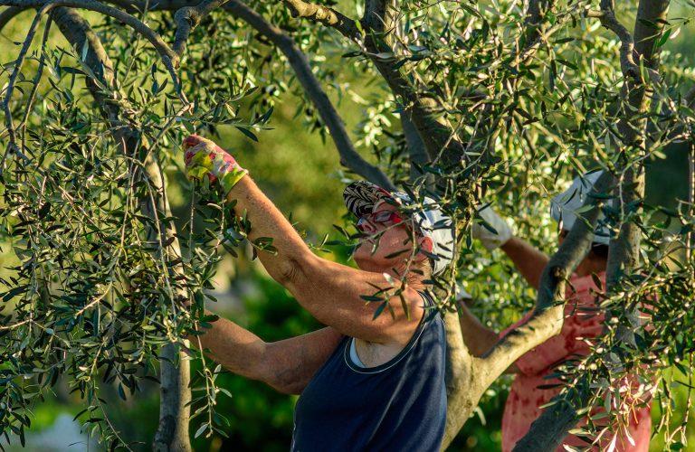 olive-harvest_8